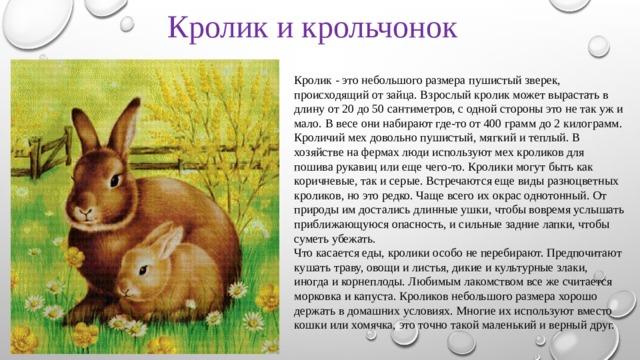 Кролик и крольчонок Кролик - это небольшого размера пушистый зверек, происходящий от зайца. Взрослый кролик может вырастать в длину от 20 до 50 сантиметров, с одной стороны это не так уж и мало. В весе они набирают где-то от 400 грамм до 2 килограмм. Кроличий мех довольно пушистый, мягкий и теплый. В хозяйстве на фермах люди используют мех кроликов для пошива рукавиц или еще чего-то. Кролики могут быть как коричневые, так и серые. Встречаются еще виды разноцветных кроликов, но это редко. Чаще всего их окрас однотонный. От природы им достались длинные ушки, чтобы вовремя услышать приближающуюся опасность, и сильные задние лапки, чтобы суметь убежать. Что касается еды, кролики особо не перебирают. Предпочитают кушать траву, овощи и листья, дикие и культурные злаки, иногда и корнеплоды. Любимым лакомством все же считается морковка и капуста.Кроликов небольшого размера хорошо держать в домашних условиях. Многие их используют вместо кошки или хомячка, это точно такой маленький и верный друг.