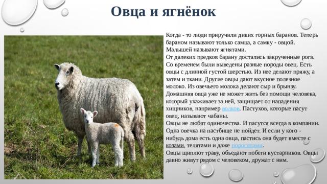 Овца и ягнёнок Когда - то люди приручили диких горных баранов. Теперь бараном называют только самца, а самку - овцой. Малышей называют ягнятами. От далеких предков барану достались закрученные рога. Со временем были выведены разные породы овец. Есть овцы с длинной густой шерстью. Из нее делают пряжу, а затем и ткани. Другие овцы дают вкусное полезное молоко. Из овечьего молока делают сыр и брынзу. Домашняя овца уже не может жить без помощи человека, который ухаживает за ней, защищает от нападения хищников, например волков . Пастухов, которые пасут овец, называют чабаны. Овцы не любят одиночества. И пасутся всегда в компании. Одна овечка на пастбище не пойдет. И если у кого - нибудь дома есть одна овца, пастись она будет вместе с козами , телятами и даже поросятами . Овцы щиплют траву, объедают побеги кустарников.Овцы давно живут рядом с человеком, дружат с ним.