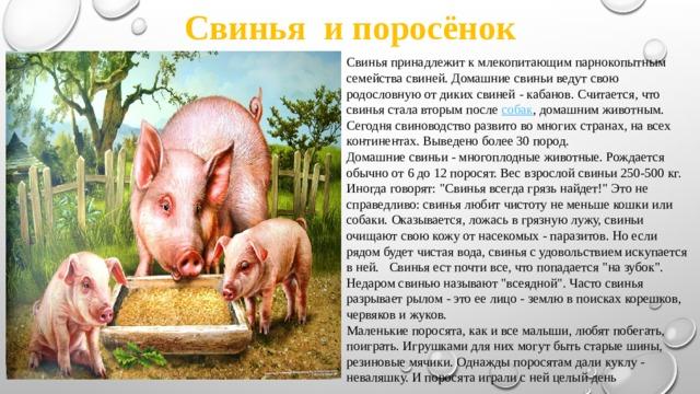 Свинья и поросёнок Свинья принадлежит к млекопитающим парнокопытным семейства свиней. Домашние свиньи ведут свою родословную от диких свиней - кабанов. Считается, что свинья стала вторым после собак , домашним животным. Сегодня свиноводство развито во многих странах, на всех континентах. Выведено более 30 пород. Домашние свиньи - многоплодные животные. Рождается обычно от 6 до 12 поросят. Вес взрослой свиньи 250-500 кг. Иногда говорят: