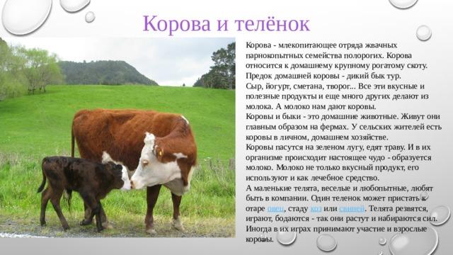 Корова и телёнок Корова - млекопитающее отряда жвачных парнокопытных семейства полорогих. Корова относится к домашнему крупному рогатому скоту. Предок домашней коровы - дикий бык тур. Сыр, йогурт, сметана, творог... Все эти вкусные и полезные продукты и еще много других делают из молока. А молоко нам дают коровы. Коровы и быки - это домашние животные. Живут они главным образом на фермах. У сельских жителей есть коровы в личном, домашнем хозяйстве. Коровы пасутся на зеленом лугу, едят траву. И в их организме происходит настоящее чудо - образуется молоко. Молоко не только вкусный продукт, его используют и как лечебное средство. А маленькие телята, веселые и любопытные, любят быть в компании. Один теленок может пристать к отаре овец , стаду коз или свиней . Телята резвятся, играют, бодаются - так они растут и набираются сил. Иногда в их играх принимают участие и взрослые коровы.