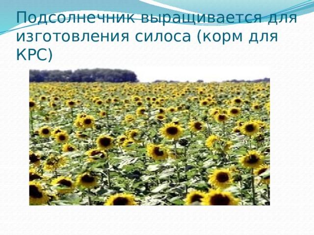 Подсолнечник выращивается для изготовления силоса (корм для КРС)