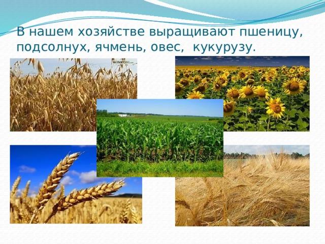 В нашем хозяйстве выращивают пшеницу, подсолнух, ячмень, овес, кукурузу.