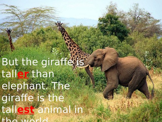 But the giraffe is tall er than elephant. The giraffe is the tall est animal in the world.