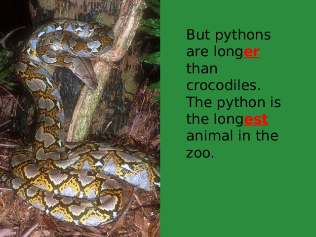 But pythons are long er than crocodiles. The python is the long est animal in the zoo.