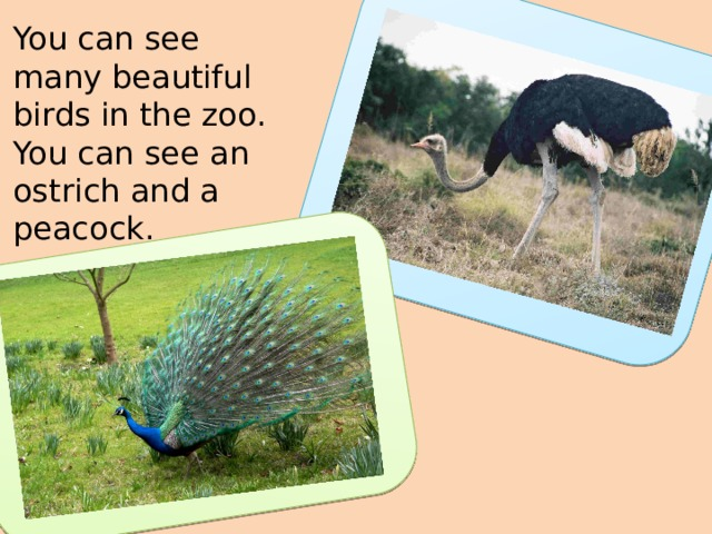 You can see many beautiful birds in the zoo. You can see an ostrich and a peacock.