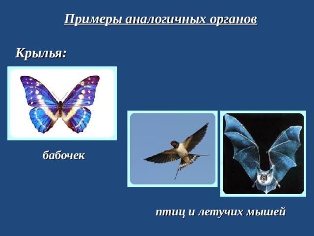 Примеры аналогичных органов Крылья: бабочек птиц и летучих мышей
