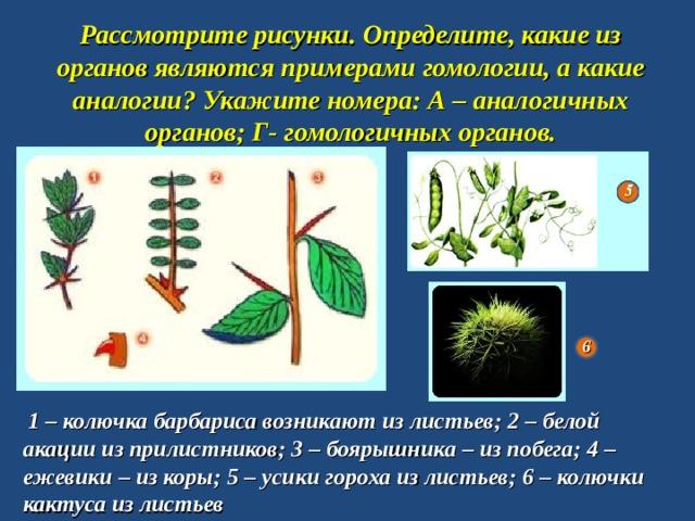 Рассмотрите рисунки. Определите, какие из органов являются примерами гомологии, а какие аналогии? Укажите номера: А – аналогичных органов; Г- гомологичных органов.   6  1 – колючка барбариса возникают из листьев; 2 – белой акации из прилистников; 3 – боярышника – из побега; 4 – ежевики – из коры; 5 – усики гороха из листьев; 6 – колючки кактуса из листьев