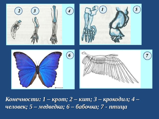 Конечности: 1 – крот; 2 – кит; 3 – крокодил; 4 – человек; 5 – медведка; 6 – бабочка; 7 - птица