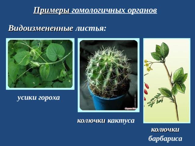 Примеры гомологичных органов Видоизмененные листья: усики гороха колючки кактуса колючки барбариса