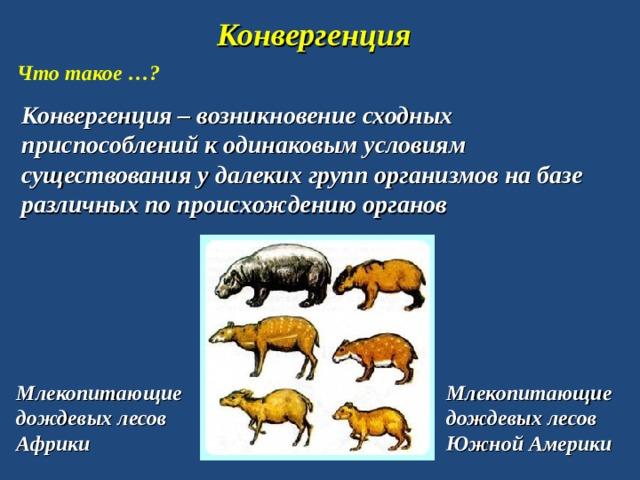 Конвергенция Что такое …? Конвергенция – возникновение сходных приспособлений к одинаковым условиям существования у далеких групп организмов на базе различных по происхождению органов Млекопитающие дождевых лесов Африки Млекопитающие дождевых лесов Южной Америки