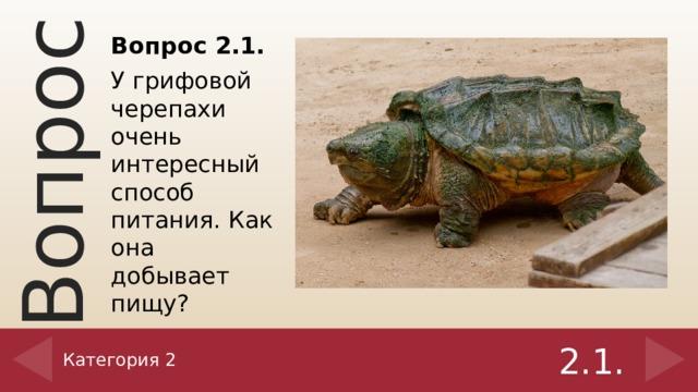 Вопрос 2.1. У грифовой черепахи очень интересный способ питания. Как она добывает пищу? Категория 2 2.1.