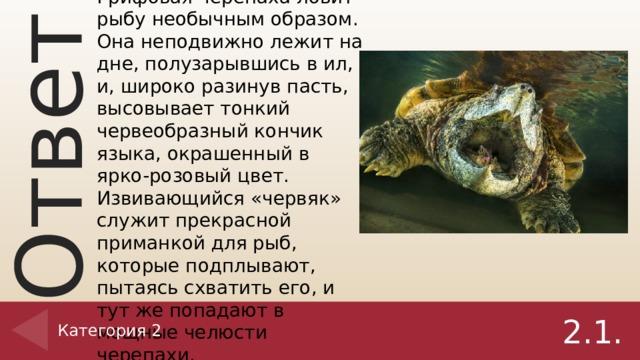 Ответ на вопрос 2.1. Грифовая черепаха ловит рыбу необычным образом. Она неподвижно лежит на дне, полузарывшись в ил, и, широко разинув пасть, высовывает тонкий червеобразный кончик языка, окрашенный в ярко-розовый цвет. Извивающийся «червяк» служит прекрасной приманкой для рыб, которые подплывают, пытаясь схватить его, и тут же попадают в мощные челюсти черепахи. Категория 2 2.1.