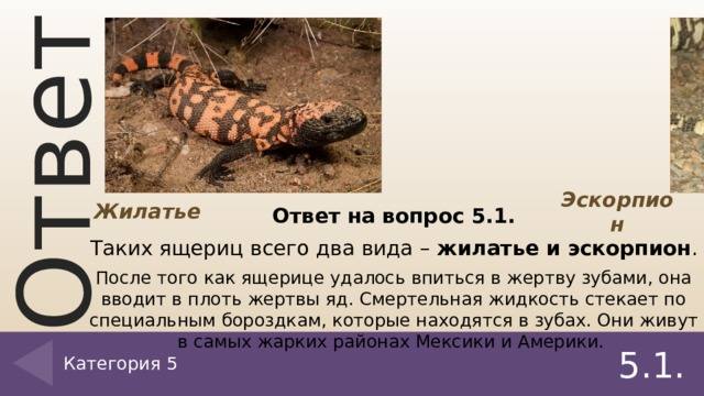 Жилатье Эскорпион Ответ на вопрос 5.1. Таких ящериц всего два вида – жилатье и эскорпион . После того как ящерице удалось впиться в жертву зубами, она вводит в плоть жертвы яд. Смертельная жидкость стекает по специальным бороздкам, которые находятся в зубах. Они живут в самых жарких районах Мексики и Америки.  Категория 5 5.1.