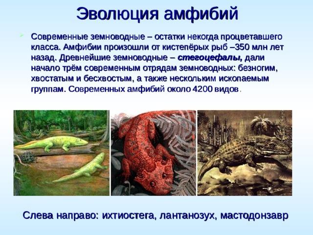 Эволюция амфибий  Современные земноводные – остатки некогда процветавшего класса. Амфибии произошли от кистепёрых рыб –350 млн лет назад. Древнейшие земноводные – стегоцефалы, дали начало трём современным отрядам земноводных: безногим, хвостатым и бесхвостым, а также нескольким ископаемым группам. Современных амфибий около 4200 видов . Слева направо: ихтиостега, лантанозух, мастодонзавр