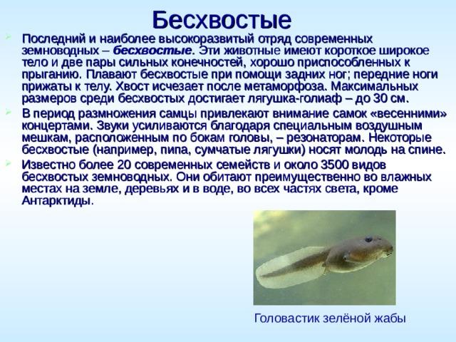 Бесхвостые  Последний и наиболее высокоразвитый отряд современных земноводных – бесхвостые . Эти животные имеют короткое широкое тело и две пары сильных конечностей, хорошо приспособленных к прыганию. Плавают бесхвостые при помощи задних ног; передние ноги прижаты к телу. Хвост исчезает после метаморфоза. Максимальных размеров среди бесхвостых достигает лягушка-голиаф – до 30см. В период размножения самцы привлекают внимание самок «весенними» концертами. Звуки усиливаются благодаря специальным воздушным мешкам, расположенным по бокам головы, – резонаторам. Некоторые бесхвостые (например, пипа, сумчатые лягушки) носят молодь на спине. Известно более 20 современных семейств и около 3500 видов бесхвостых земноводных. Они обитают преимущественно во влажных местах на земле, деревьях и в воде, во всех частях света, кроме Антарктиды. Головастик зелёной жабы