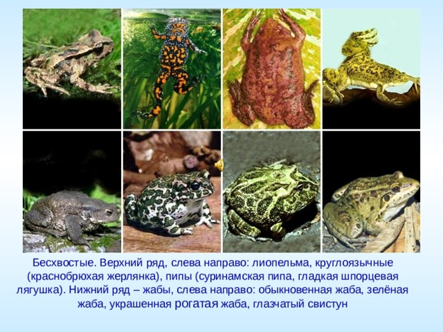 Бесхвостые. Верхний ряд, слева направо: лиопельма, круглоязычные (краснобрюхая жерлянка), пипы (суринамская пипа, гладкая шпорцевая лягушка). Нижний ряд – жабы, слева направо: обыкновенная жаба, зелёная жаба, украшенная рогатая жаба, глазчатый свистун