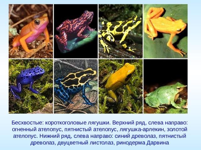 Бесхвостые: короткоголовые лягушки. Верхний ряд, слева направо: огненный ателопус, пятнистый ателопус, лягушка-арлекин, золотой ателопус. Нижний ряд, слева направо: синий древолаз, пятнистый древолаз, двуцветный листолаз, ринодерма Дарвина