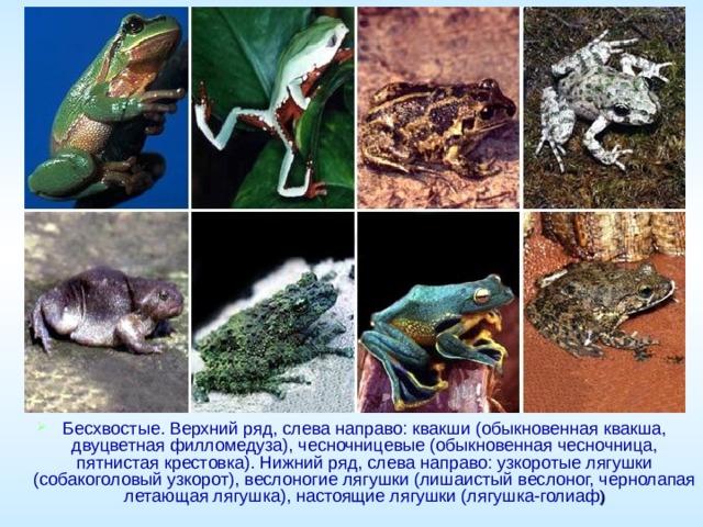Бесхвостые. Верхний ряд, слева направо: квакши (обыкновенная квакша, двуцветная филломедуза), чесночницевые (обыкновенная чесночница, пятнистая крестовка). Нижний ряд, слева направо: узкоротые лягушки (собакоголовый узкорот), веслоногие лягушки (лишаистый веслоног, чернолапая летающая лягушка), настоящие лягушки (лягушка-голиаф )