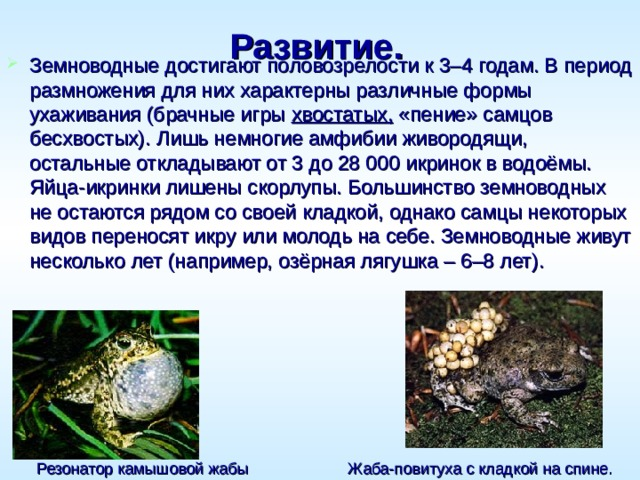 Развитие.    Земноводные достигают половозрелости к 3–4 годам. В период размножения для них характерны различные формы ухаживания (брачные игры хвостатых, «пение» самцов бесхвостых). Лишь немногие амфибии живородящи, остальные откладывают от 3 до 28000 икринок в водоёмы. Яйца-икринки лишены скорлупы. Большинство земноводных не остаются рядом со своей кладкой, однако самцы некоторых видов переносят икру или молодь на себе. Земноводные живут несколько лет (например, озёрная лягушка – 6–8 лет). Жаба-повитуха с кладкой на спине. Резонатор камышовой жабы