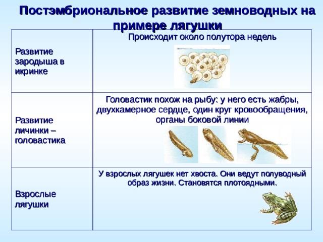 Постэмбриональное развитие земноводных на примере лягушки Развитие зародыша в икринке Происходит около полутора недель   Развитие личинки– головастика Головастик похож на рыбу: у него есть жабры, двухкамерное сердце, один круг кровообращения, органы боковой линии   Взрослые лягушки У взрослых лягушек нет хвоста. Они ведут полуводный образ жизни. Становятся плотоядными.