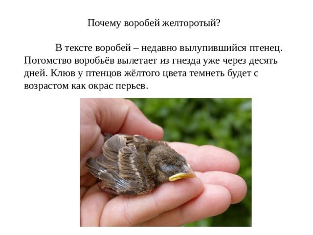 Почему воробей желторотый?  В тексте воробей – недавно вылупившийся птенец. Потомство воробьёв вылетает из гнезда уже через десять дней. Клюв у птенцов жёлтого цвета темнеть будет с возрастом как окрас перьев.