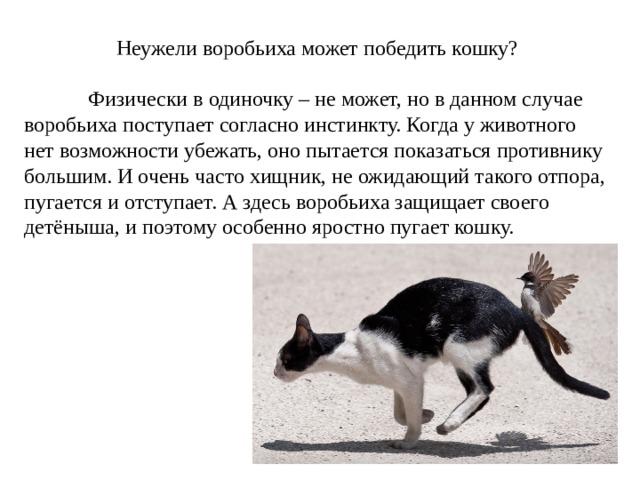 Неужели воробьиха может победить кошку?  Физически в одиночку – не может, но в данном случае воробьиха поступает согласно инстинкту. Когда у животного нет возможности убежать, оно пытается показаться противнику большим. И очень часто хищник, не ожидающий такого отпора, пугается и отступает. А здесь воробьиха защищает своего детёныша, и поэтому особенно яростно пугает кошку.