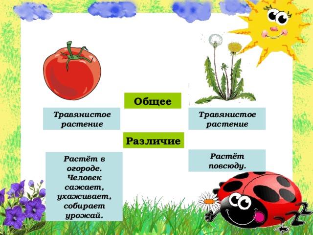 Общее Травянистое растение Травянистое растение Различие Растёт повсюду. Растёт в огороде. Человек сажает, ухаживает, собирает урожай.