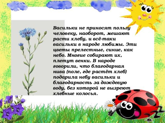 Васильки не приносят пользу человеку, наоборот, мешают расти хлебу, и всё-таки васильки в народе любимы. Эти цветы прелестные, синие, как небо. Многие собирают их, плетут венки. В народе говорили, что благодарная нива (поле, где растёт хлеб) подарила небу васильки и благодарность за дождевую воду, без которой не вызреют хлебные колосья.
