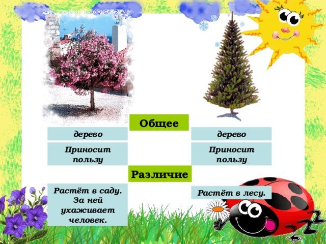 Общее дерево дерево Приносит пользу Приносит пользу Различие Растёт в саду. За ней ухаживает человек. Растёт в лесу.
