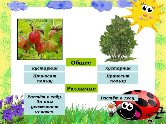 Общее кустарник кустарник Приносит пользу Приносит пользу Различие Растёт в саду. За ним ухаживает человек. Растёт в лесу.