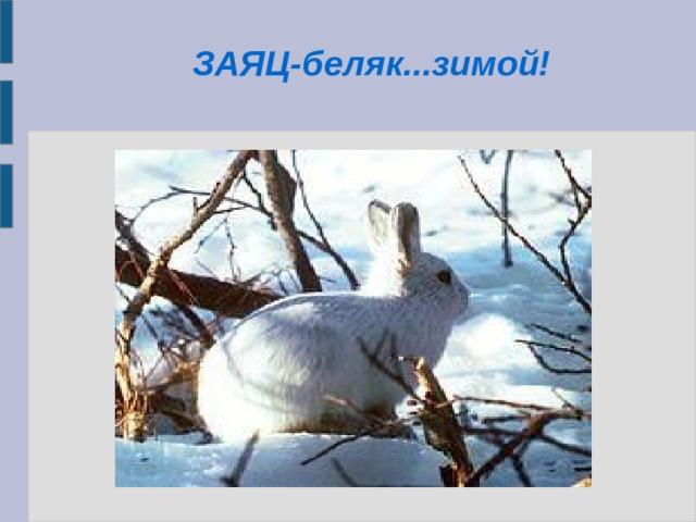 ЗАЯЦ-беляк...зимой!