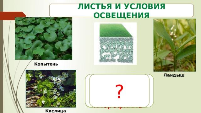 Листья и условия освещения  Копытень Ландыш Тонкие ? Более зеленые, т.к. больше хлорофилла Кислица