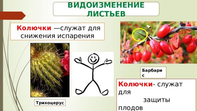 Видоизменение листьев  Колючки —служат для снижения испарения Барбарис Колючки - служат для  защиты плодов Трихоцерус