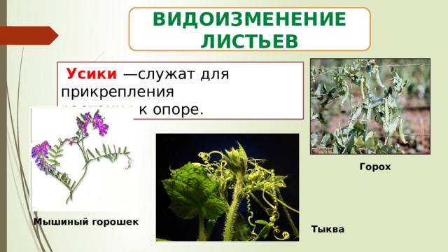 Видоизменение листьев  Усики —служат для прикрепления растения к опоре. Горох Мышиный горошек Тыква