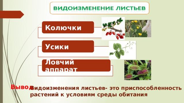 Колючки Усики Ловчий аппарат Вывод : Видоизменения листьев- это приспособленность растений к условиям среды обитания