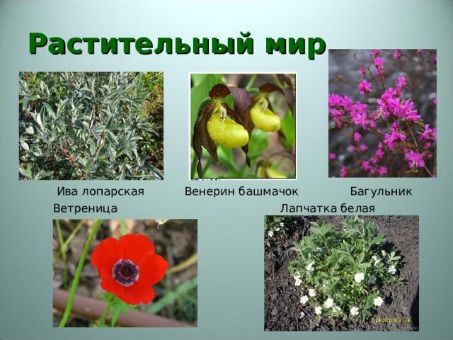 Растительный мир     Ива лопарская Венерин башмачок Багульник  Ветреница Лапчатка белая