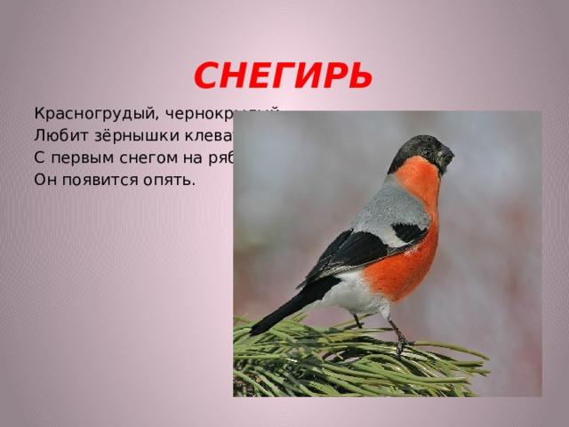 СНЕГИРЬ Красногрудый, чернокрылый, Любит зёрнышки клевать, С первым снегом на рябине Он появится опять.
