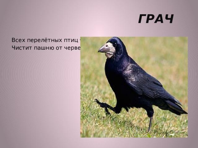 ГРАЧ Всех перелётных птиц черней, Чистит пашню от червей.