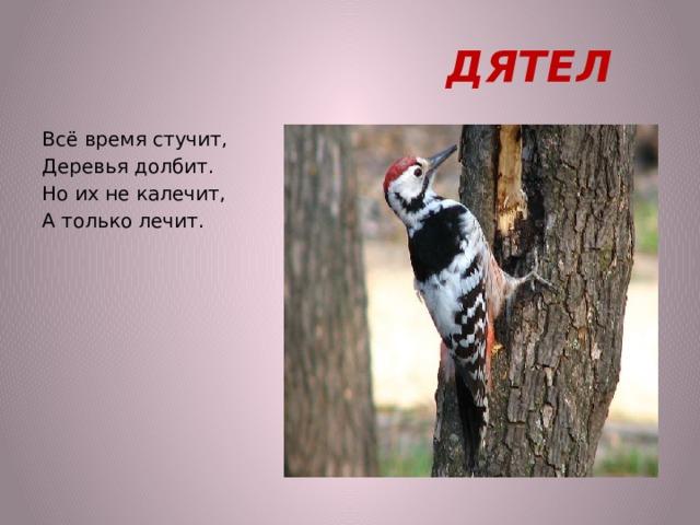 ДЯТЕЛ Всё время стучит, Деревья долбит. Но их не калечит, А только лечит.