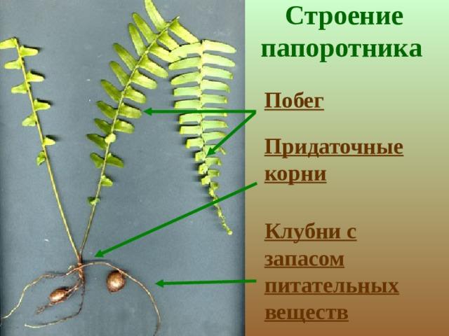 Строение папоротника    Побег Придаточные  корни Клубни с запасом питательных веществ