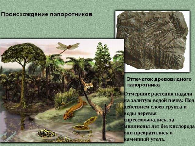 Отмершие растения падали на залитую водой почву. Под действием слоев грунта и воды деревья спрессовывались, за миллионы лет без кислорода они превратились в каменный уголь.