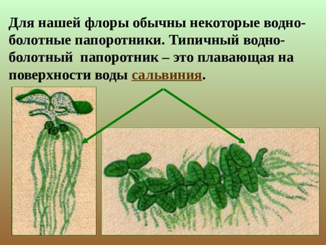 Для нашей флоры обычны некоторые водно-болотные папоротники. Типичный водно-болотный папоротник – это плавающая на поверхности воды сальвиния .