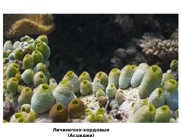 Личиночно-хордовые (Асцидии)