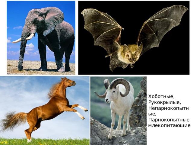 Хоботные, Рукокрылые, Непарнокопытные, Парнокопытные млекопитающие