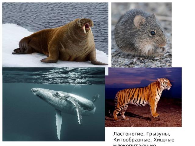Ластоногие, Грызуны, Китообразные, Хищные млекопитающие