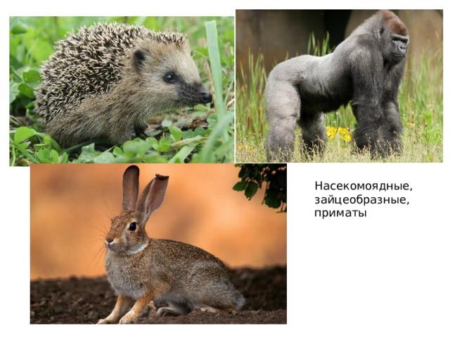 Насекомоядные, зайцеобразные, приматы