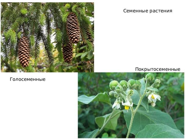 Семенные растения Покрытосеменные Голосеменные