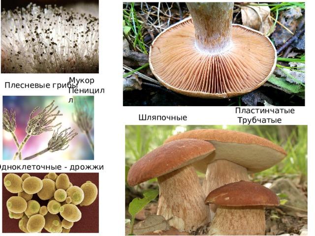 Мукор Плесневые грибы Пеницилл Пластинчатые Шляпочные Трубчатые Одноклеточные - дрожжи