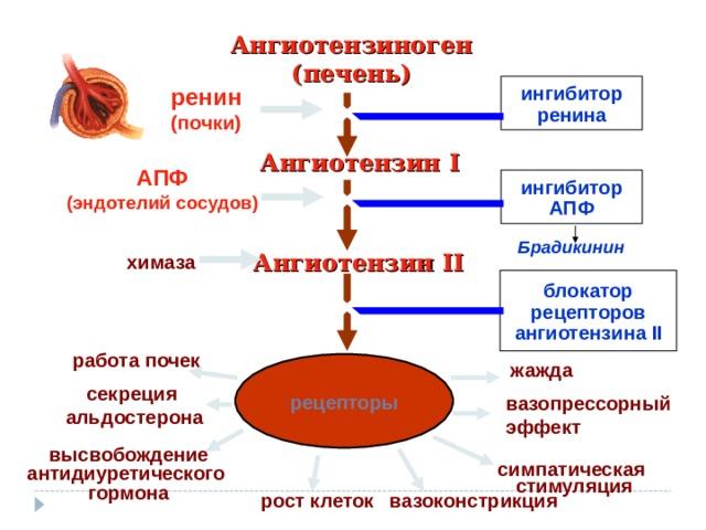 Ангиотензиноген (печень) ингибитор ренина ренин (почки) Ангиотензин I АПФ (эндотелий сосудов) ингибитор АПФ Брадикинин Ангиотензин II химаза блокатор рецепторов ангиотензина II работа почек рецепторы жажда секреция альдостерона вазопрессорный эффект высвобождение антидиуретического гормона симпатическая стимуляция рост клеток вазоконстрикция