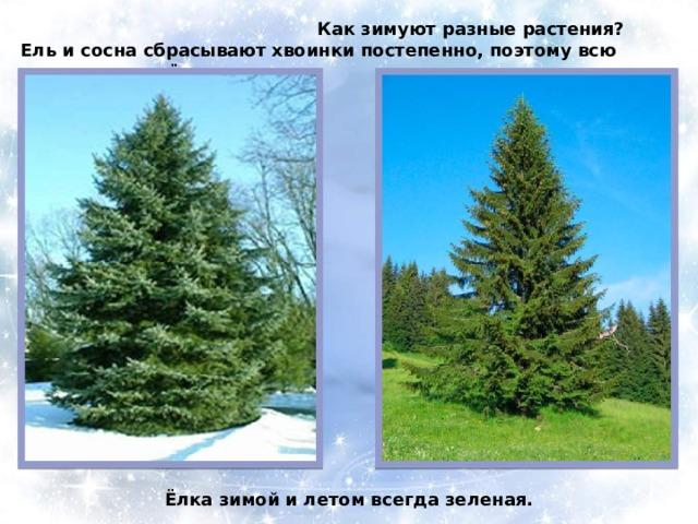 Как зимуют разные растения? Ель и сосна сбрасывают хвоинки постепенно, поэтому всю зиму стоят зелёными. Ёлка зимой и летом всегда зеленая.